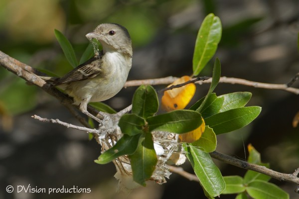 Bell's Vireo bringing in some spider web for the nest.  Mt. Lemmon, Ap...