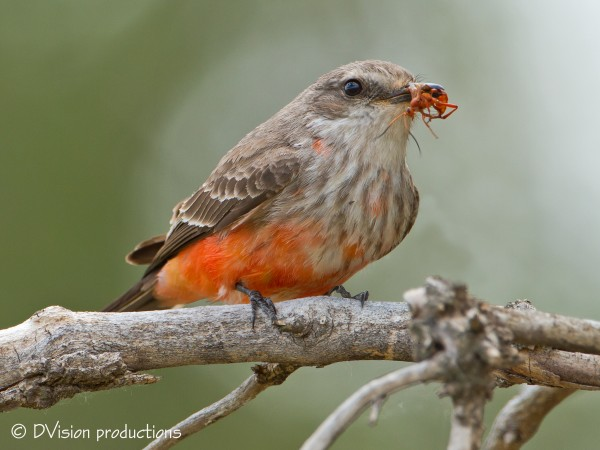 Juvenile male Vermillion Flycatcher snags an ant for breakfast.  Patag...
