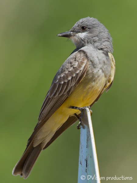 Cassin's Kingbird, Patagonia AZ, April 2014.