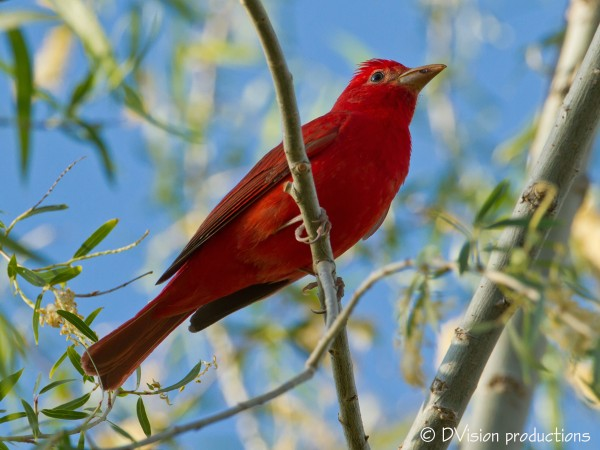 Male Summer Tanager, Patagonia AZ, April 2014.