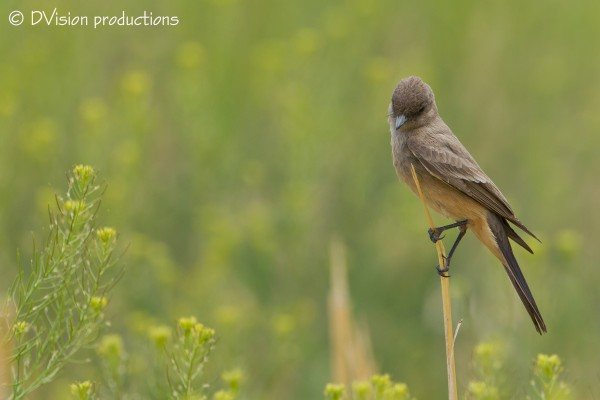Say's Phoebe, Patagonia AZ, April 2014.