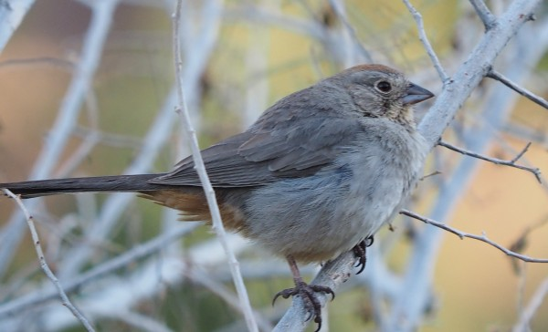 Canyon Towhee in Santa Fe canyon