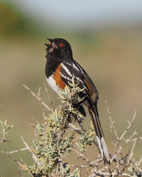 Spotted Towhee in Santa Fe Canyon.