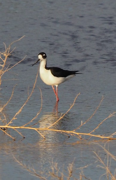 Black-necked Stilt, Belen, NM