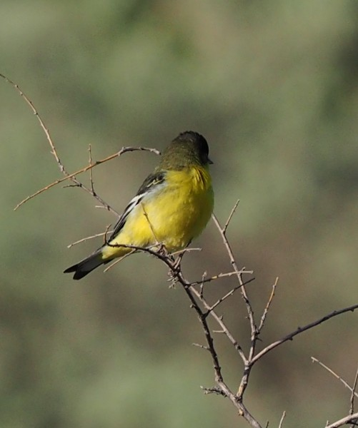 Lesser Goldfinch, Santa Fe Canyon