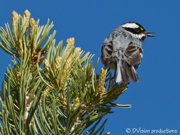 Black-throated Gray Warbler, CO National Monument, May 2014