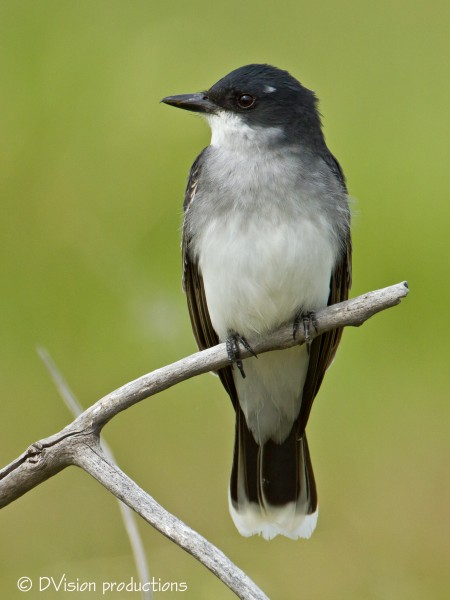 Eastern Kingbird, Boulder, May 2014