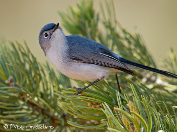 Blue-gray Gnatcatcher, CO National Monument, May 2014