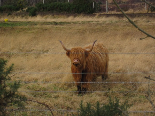 Highland cow near Balnacra, Scotland.