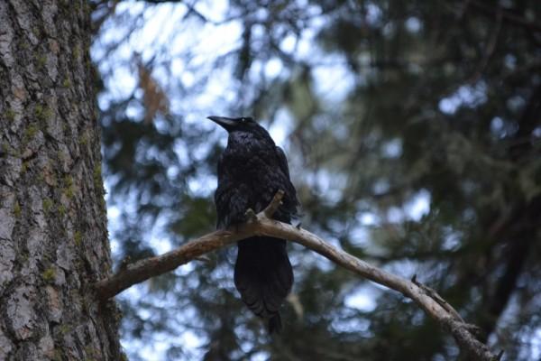 Raven at Curry Village_DSC0011_148
