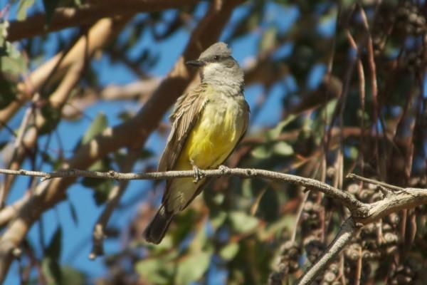 Cassin's Kingbird <br/>