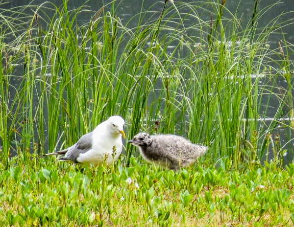 Mew Gull and chick
