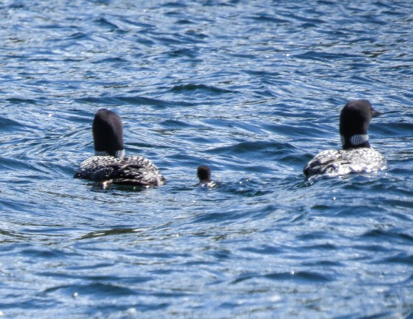 Common Loons with chick