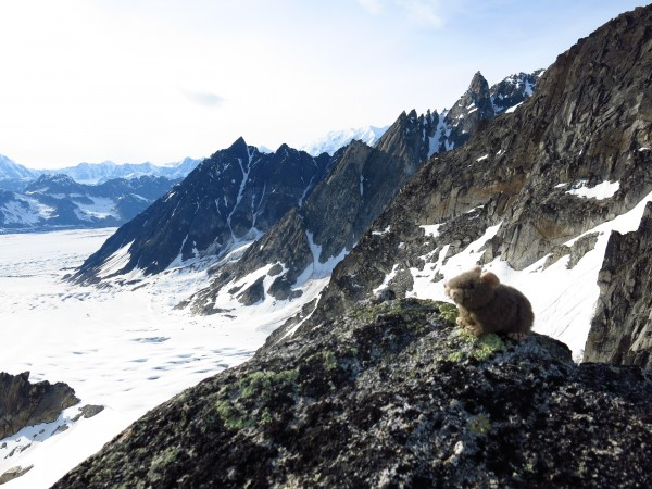 Jackson the Pika, surveying for new routes from atop the Hobbit's Foot...