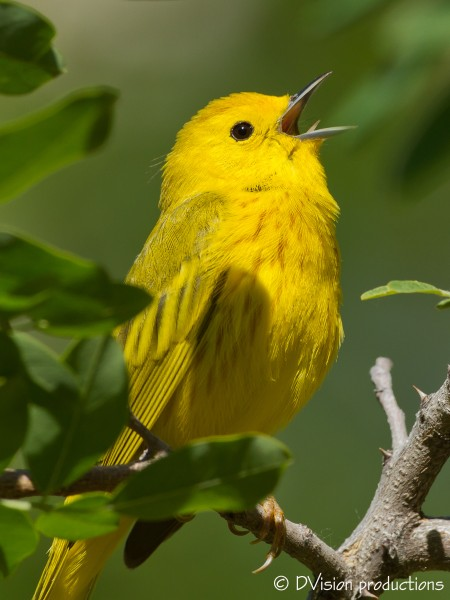 Yellow Warbler, Zion, April 2014