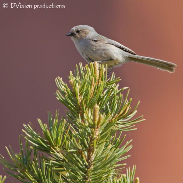 Bushtit, Sedona AZ, April 2014