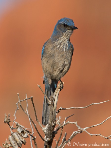 A scruffy Western Scrub Jay, Sedona AZ, April 2014