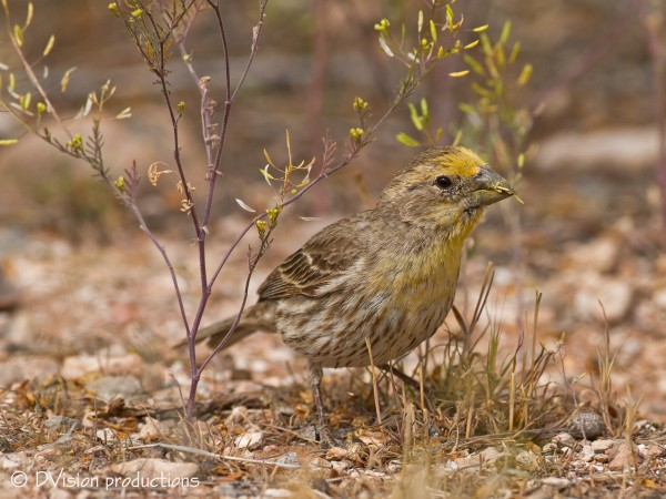 House Finch with strong yellow coloring, Red Rocks.  Maybe he's on a g...