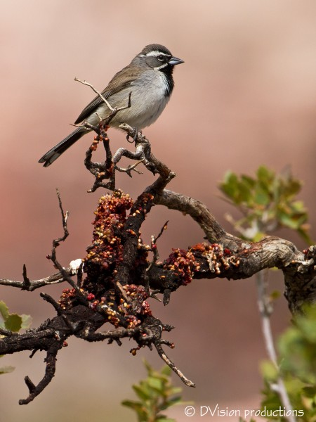 Black-throated Sparrow, Red Rocks, April 2014