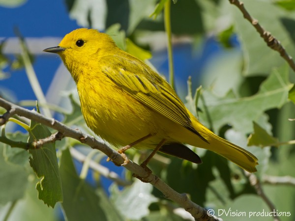 Another Yellow Warbler, Zion NP, April 2014