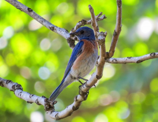 western bluebird, uc davis