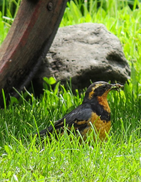 Varied Thrush with a beak full of bugs