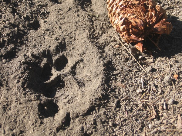 Mountain lion print(?) on shuteye ridge