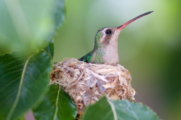 Broad-billed Hummingbird on her nest.