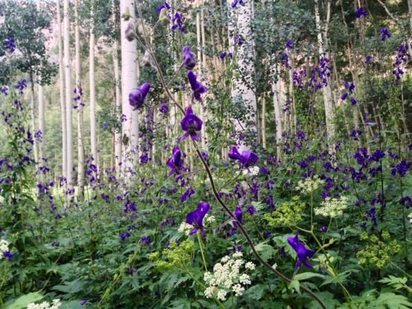 camped among the monkshood tonight
