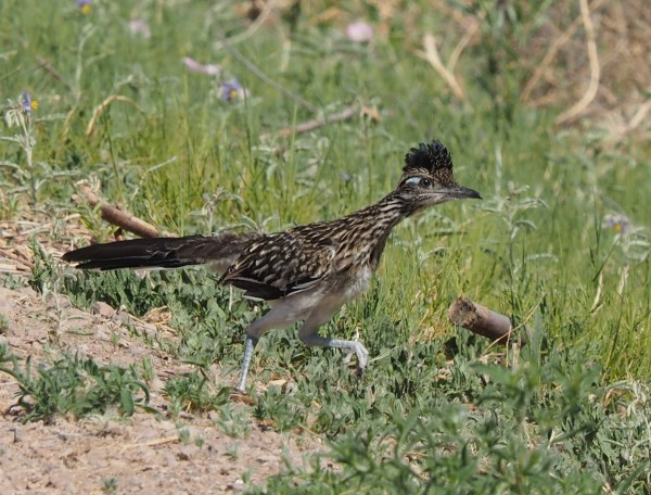 Great Roadrunner, Bosque del Apache