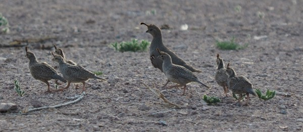 Gambel's quail and it's young, Bosque del Apache
