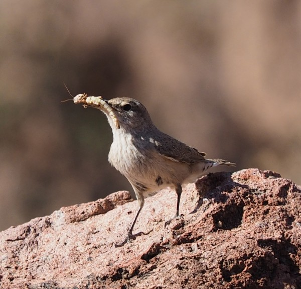 Rock Wren, Box Canyon near Socorro, NM
