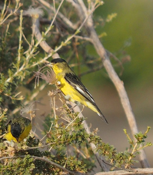 Lesser Goldfinch, Bosque del Apache, NM