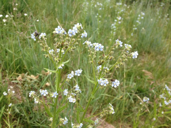 Asian Forget-me-not?