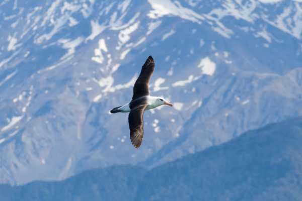 Black-browed Albatross, Kaikoura, South Island <br/> Notice how close to l...