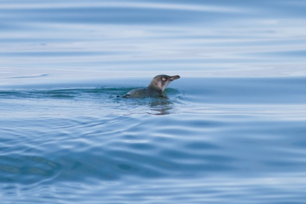 Little Penguin, Kaikoura, South Island