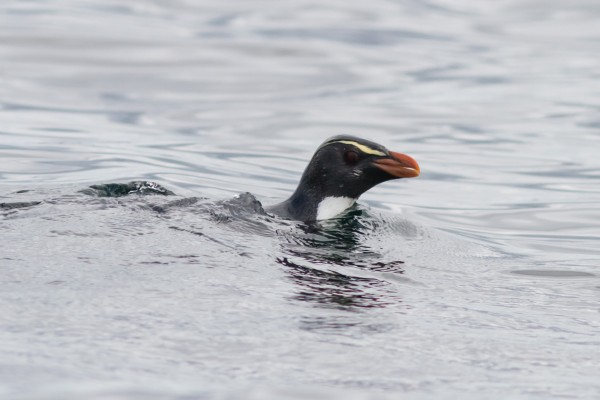 Fiordland Penguin, Stewart Island