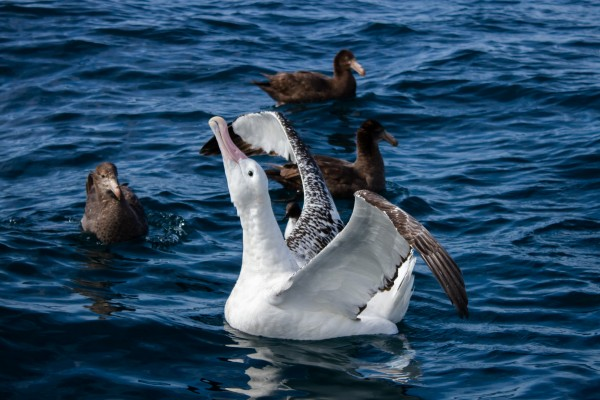 Gibson's (Wandering) Albatross with Northern Giant Petrels, Kaikoura