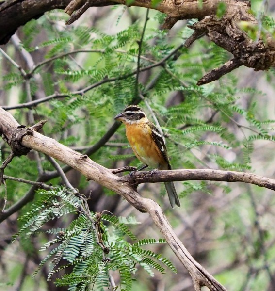 Blacked Headed Grosbeak