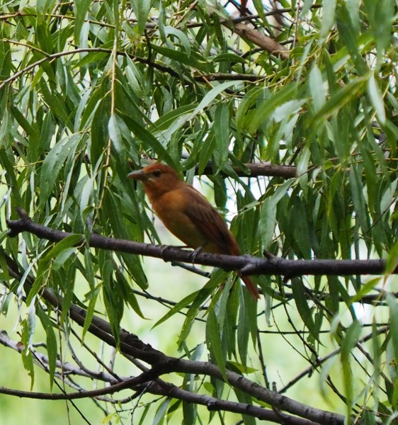 Female Summer Tanager?