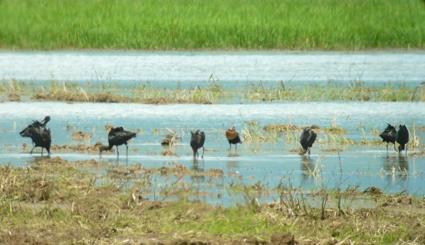Glossy Ibis (and Black-bellied Whistling-Duck) in flooded rice...