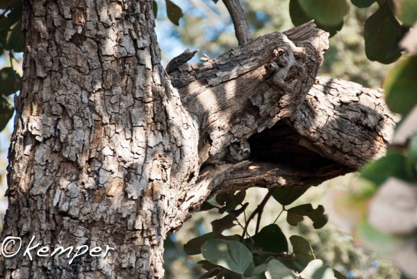 Peek-a-boo Spotted Owlet