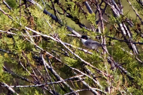Sardinian Warbler, Siracusa