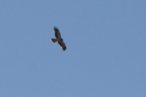 Booted Eagle, Cassibile