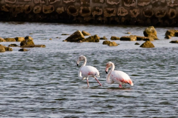 Greater Flamingos, near Marsala