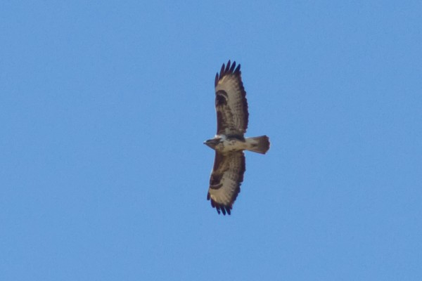 Common Buzzard &amp;#40;Buteo buteo buteo&amp;#41; <br/>