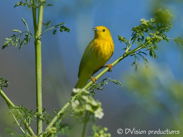 Yellow Warbler, Boulder foothills.
