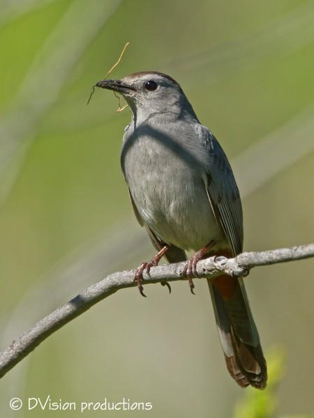 Gray Catbird with nesting material, Boulder.