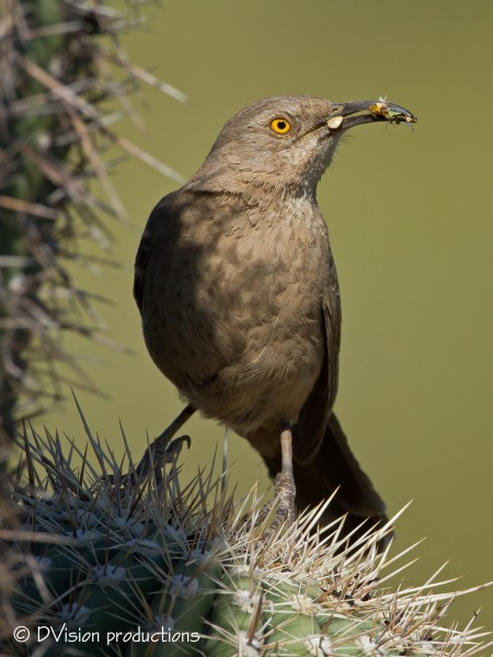Curve-billed Thrasher, Phoenix AZ