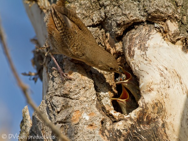 Springtime feeding, House Wrens